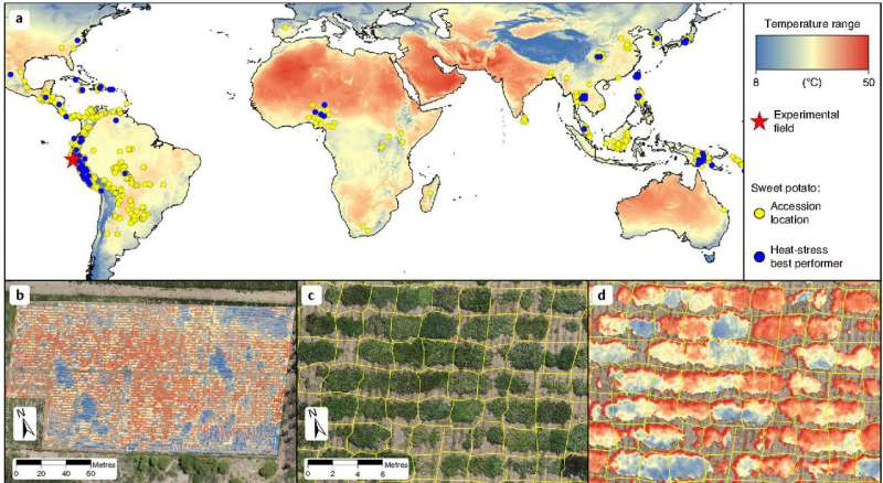 Sweet potato biodiversity can help increase climate-resilience of small-scale farming