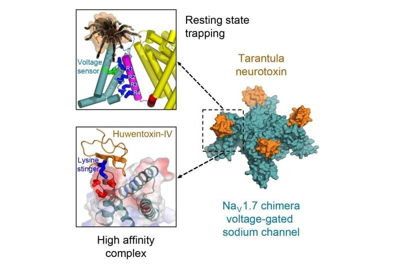 Tarantula toxin attacks with molecular stinger