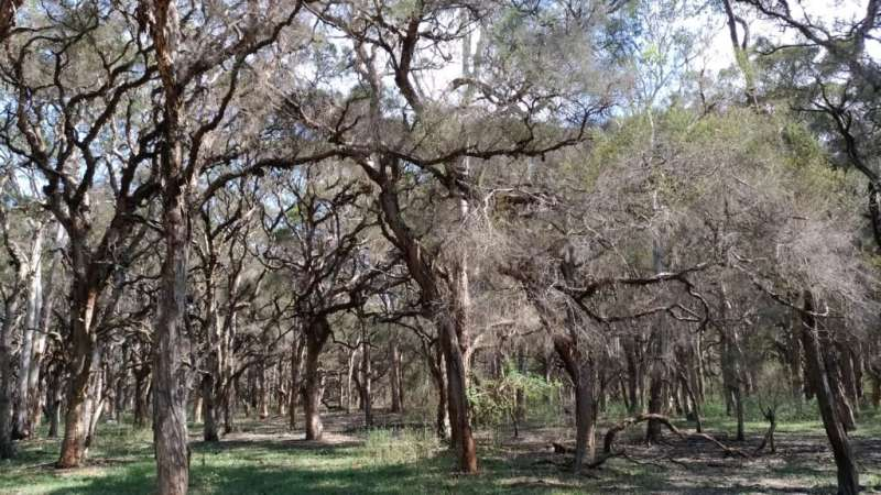 Tea trees crave water during hot and dry summer days