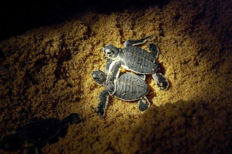 Terengganu, with a long coastline along the South China Sea, is the biggest nesting centre for turtles in peninsular Malaysia