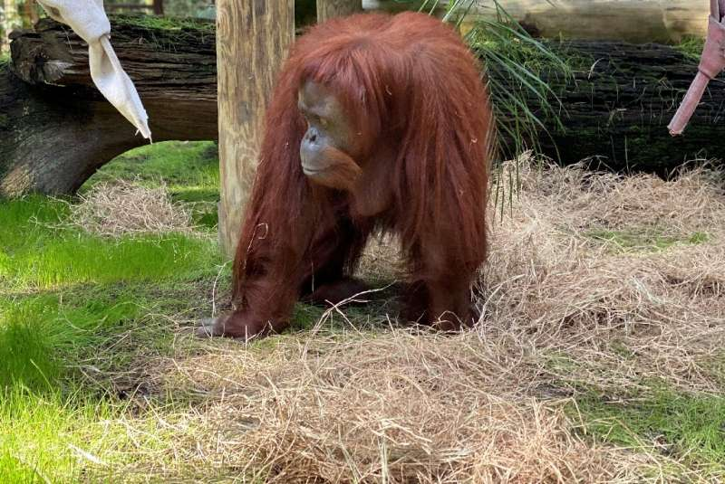 The 33-year-old orangutan Sandra joined the Florida retirement community after a court in Argentina declared her a 'non-human pe