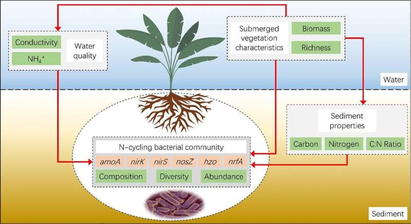 The better submerged vegetation develops, the greater nitrogen removal occurs in lake sediments