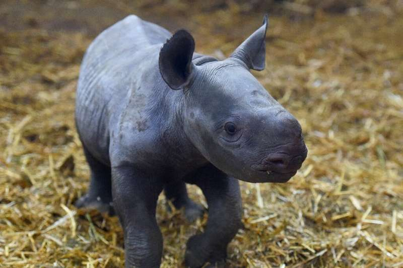 """The black rhino has three subspecies, one has recovered enough to be classified as """"near threatened"""", from """"vulne"""