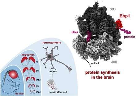 The brain's protein factories at work