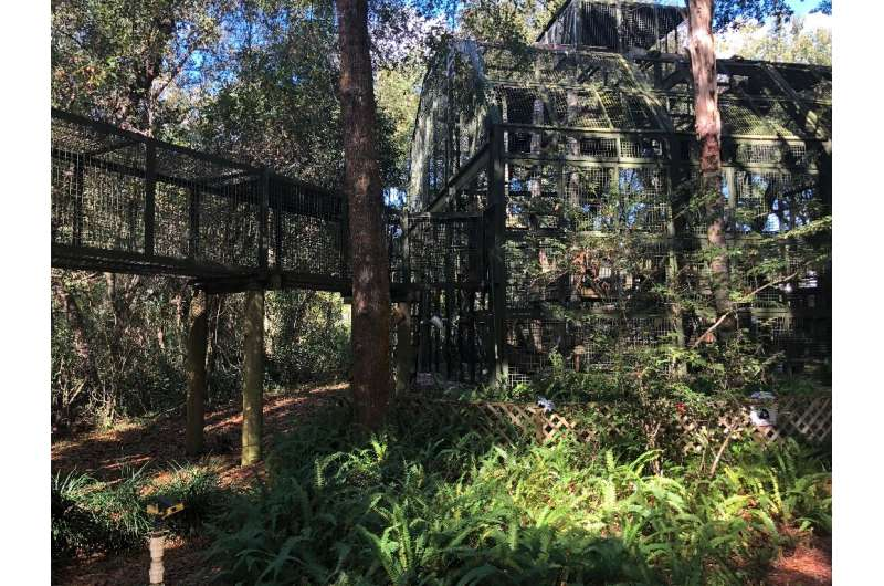 The Center For Great Apes is located on 40 hectares (98 acres) of wooded land near Wauchula, surrounded by central Florida's ora