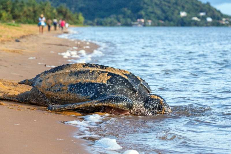 The leatherback sea turtle is the world's largest and an endangered species