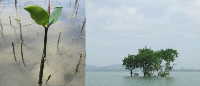 The Malay Peninsula is a dispersal barrier to certain mangrove species