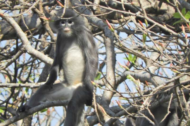 The Popa langur is named for the extinct volcano in Myanmar which is home to around 100 of the primates