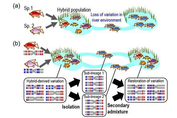 The propagation of admixture-derived evolutionary potential
