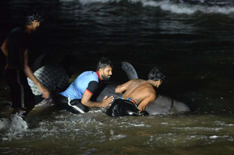 The short-finned pilot whales began beaching at Panadura, 25 kilometres (15 miles) south of Colombo