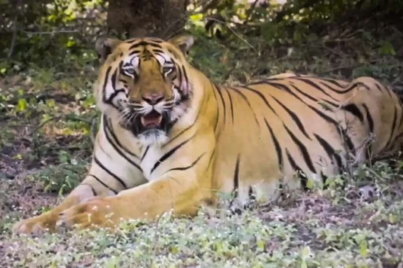 The tiger, named Walker, covered 3,000 kilometres across India in search of a mate and prey