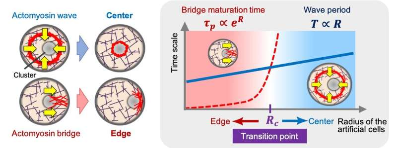 The tug-of-war at the heart of cellular symmetry