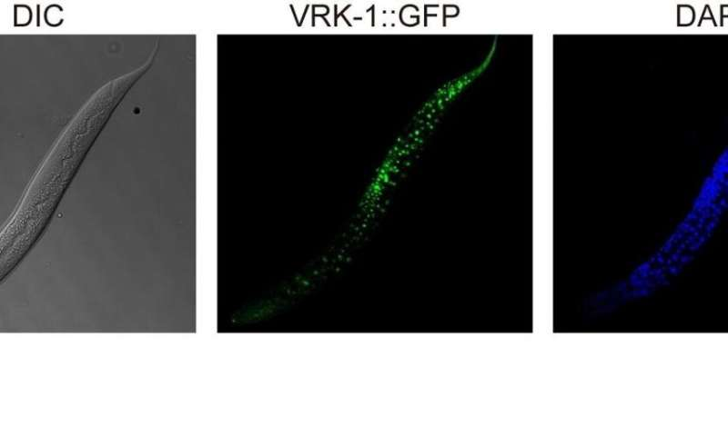Tinkering with roundworm proteins offers hope for anti-aging drugs