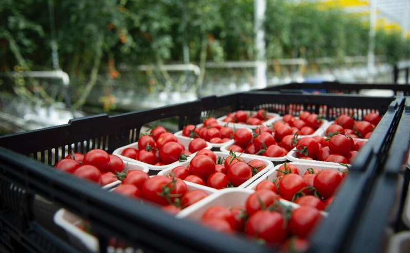 Tomatoes are viewed at Lufa Farms, a company that just opened what it says is the world's largest commercial rooftop greenhouse