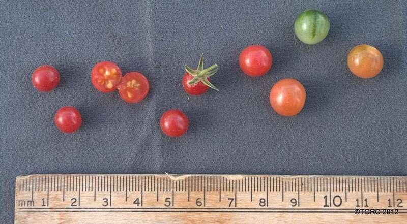 Tomato's wild ancestor is a genomic reservoir for plant breeders