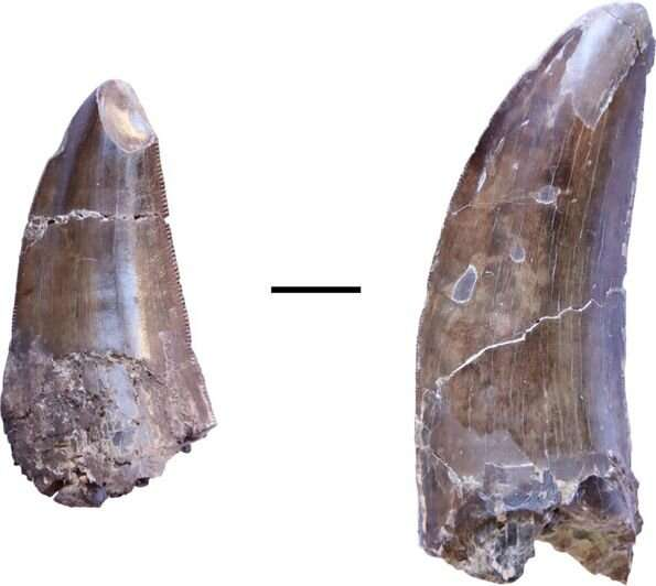 Tooth marks and lost teeth offer insights into dinosaur feeding behavior