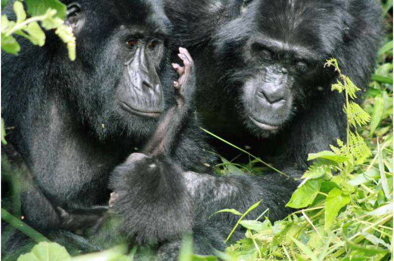 Tourists pose continued risks for disease transmission to endangered mountain gorillas