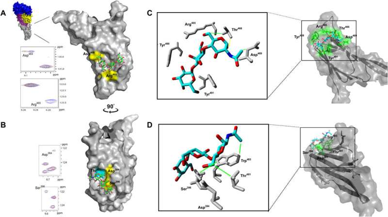 Toxin family binds to sugar receptors on human cells to cause damage