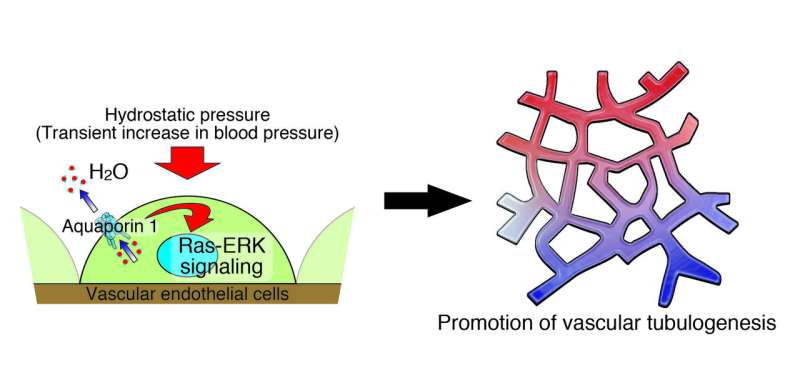 Transient increase in blood pressure promotes some blood vessel growth