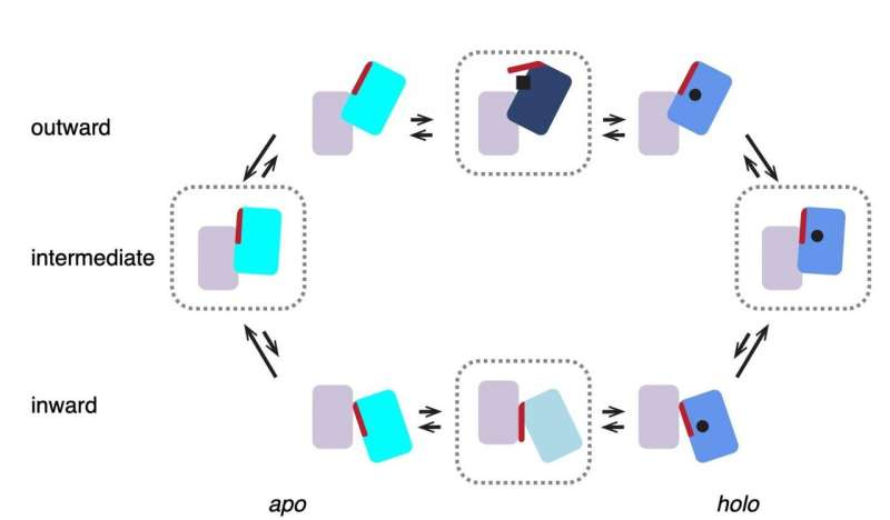 Transport protein efficiently uses three independent lifts to shuttle the goods