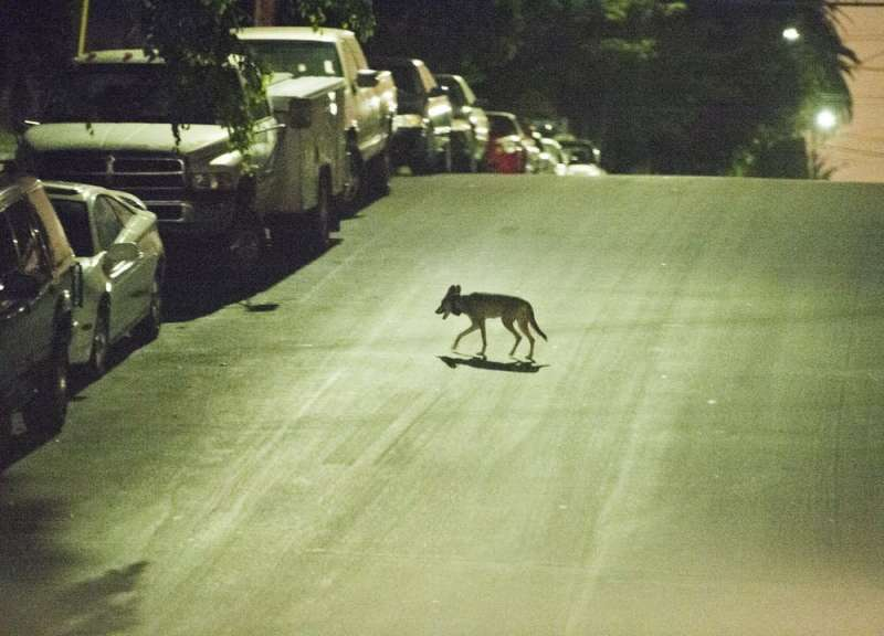 Trapping urban coyotes to see if they can be 'hazed' away from human neighborhoods