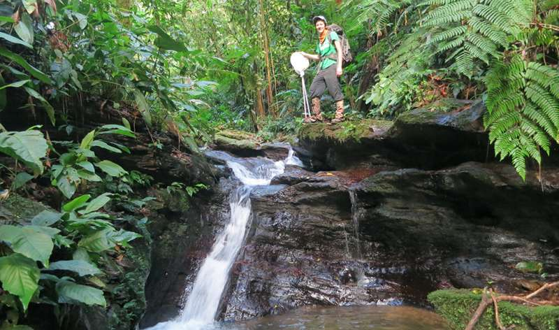 Trinidad's guppy-filled streams provide natural lab for genetic rescue research