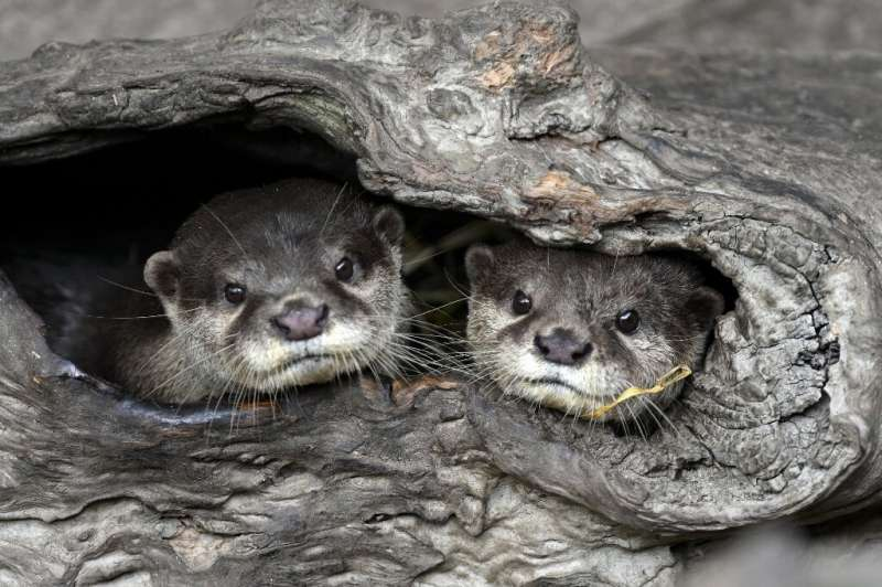 Two Asian small-clawed otters at Taipei Zoo