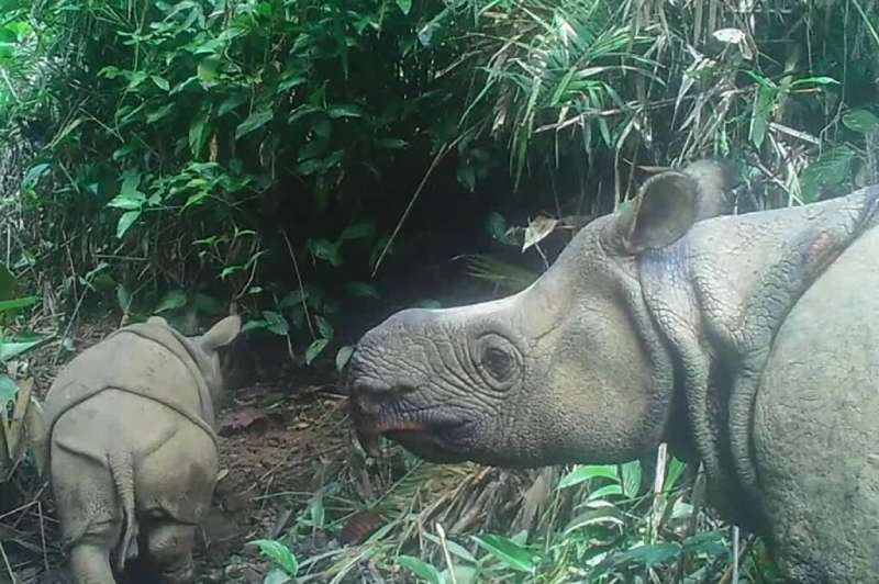 Two extremely rare Javan rhinoceros calves have been spotted in an Indonesian national park
