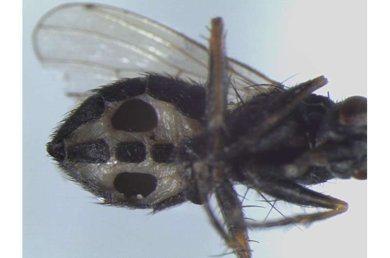 Two tough fungi discovered in Denmark: Devours flies from within