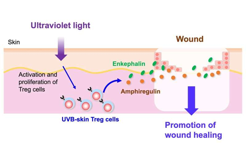 Ultraviolet B exposure expands proenkephalin+ regulatory T cells with a healing function