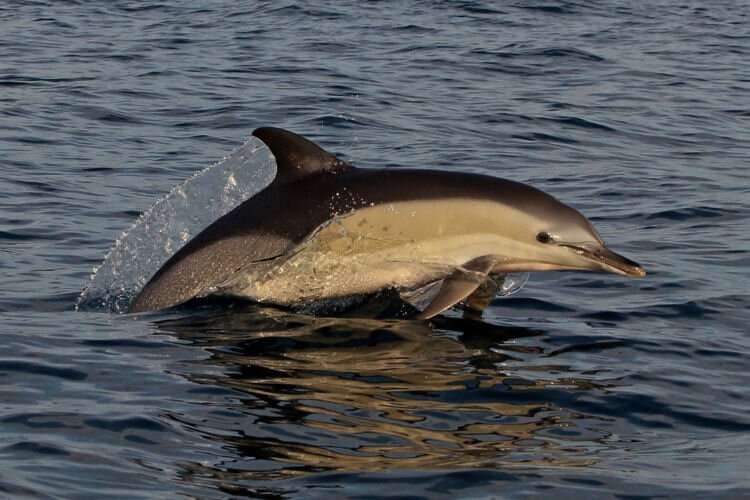 Uncommon dolphin repeatedly spotted in northern Adriatic