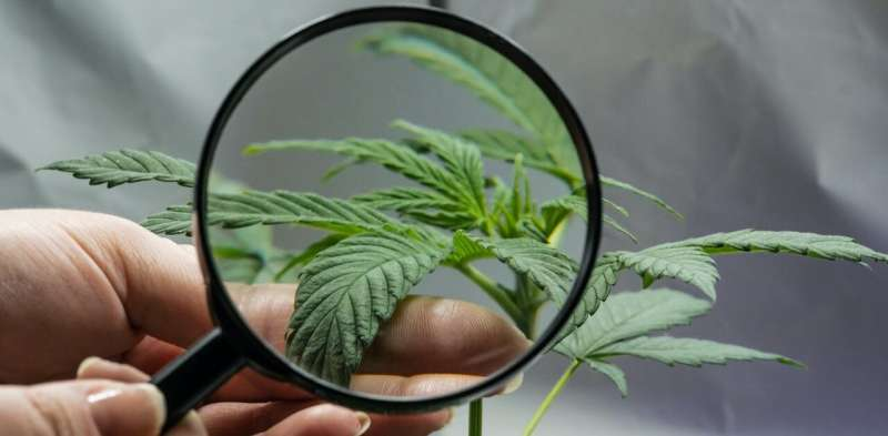 Undecided on the cannabis referendum: 10 pros and cons of legalising the drug