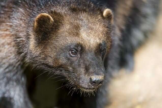 U.S. fails to protect wolverines, again