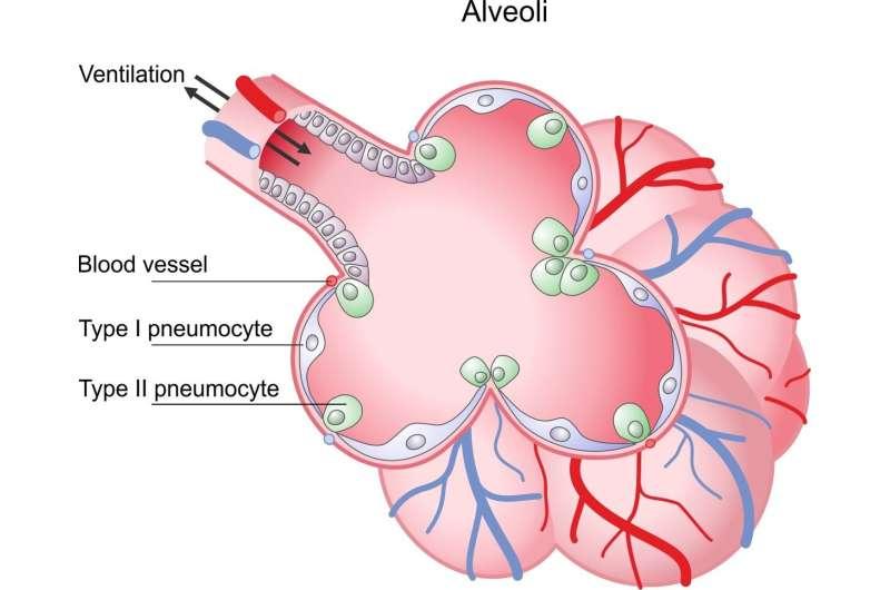 Using alveolar epithelia as a model for corona infection