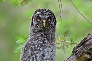 UW Researchers Study Genetic Outcomes of Great Gray Owl Population in Four States