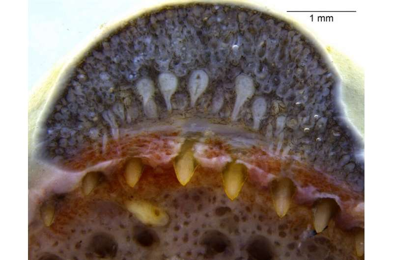 Venom glands similar to those of snakes are found for first time in amphibians