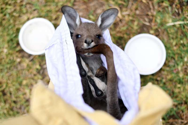 Veterinary surgeons said they have come across koalas, birds, wallabies and possums suffering from not just burns, but respirato