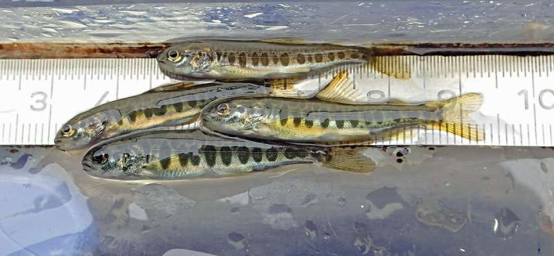 Water and genes flow between the two largest Baltic salmon rivers