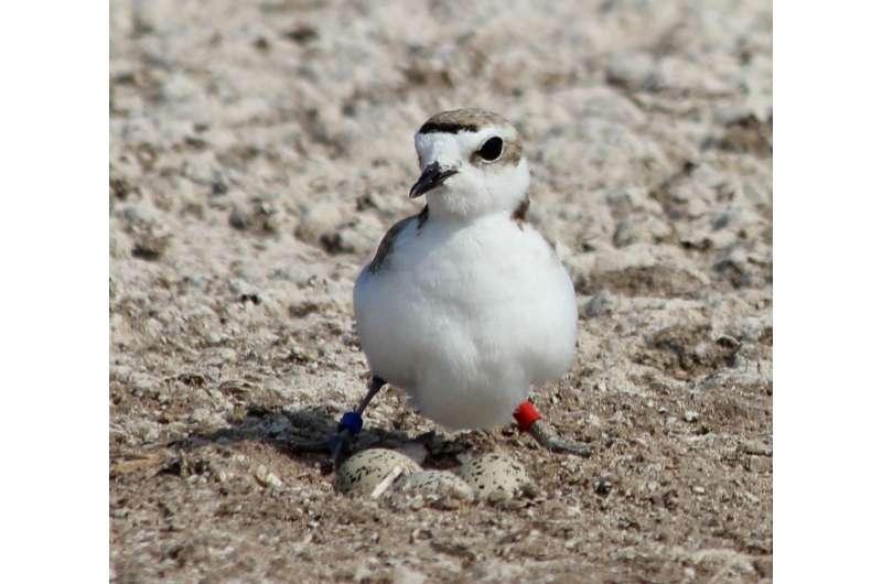 Wading birds: shorebirds with unusual social structures