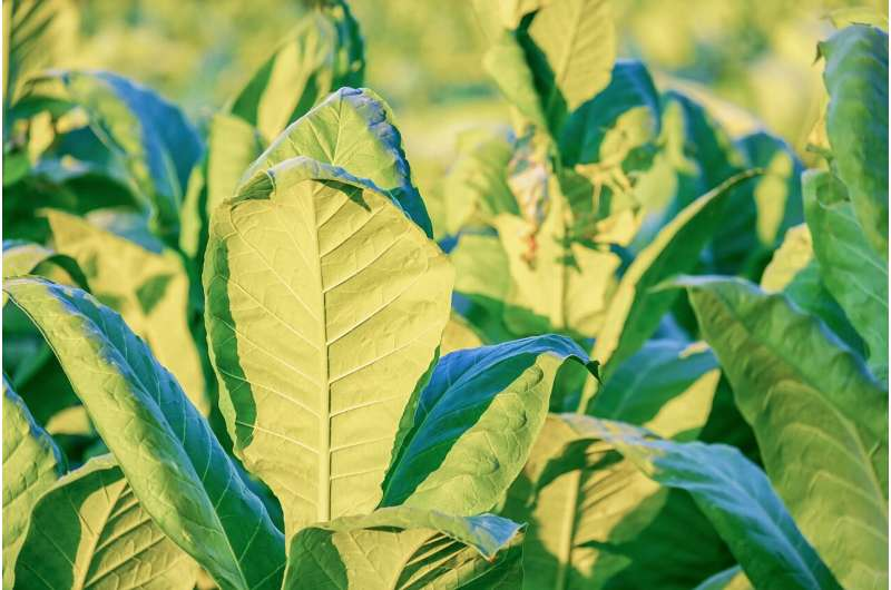 We can programme plants to grow biomolecules. Is farming the future of vaccines?