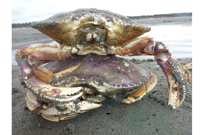 West coast dungeness crab stable or increasing even with intensive harvest, research shows