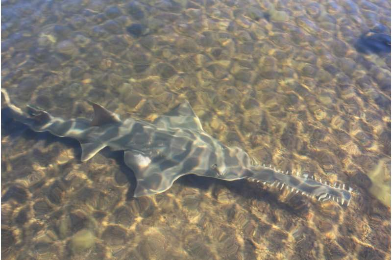 Western Australia's Fitzroy River flow critical for survival of endangered sawfish
