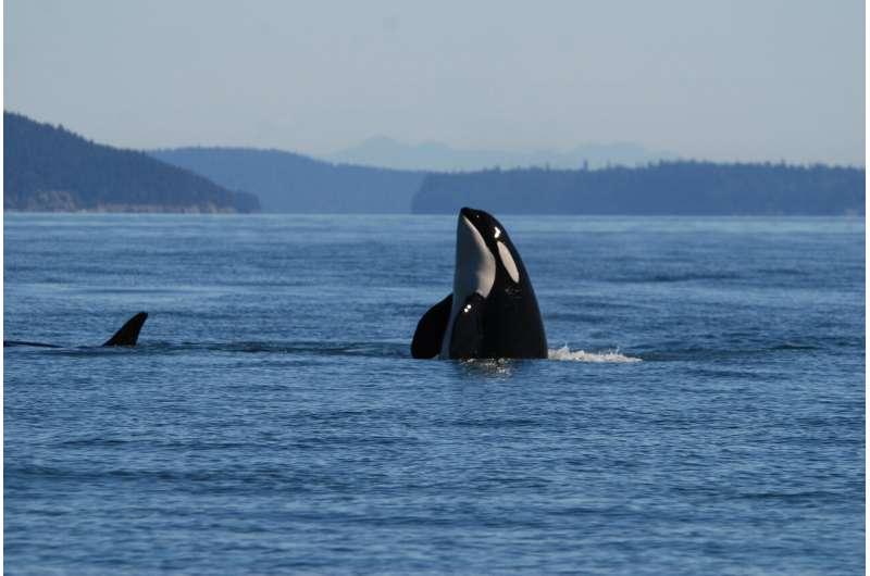 What's killing killer whales?