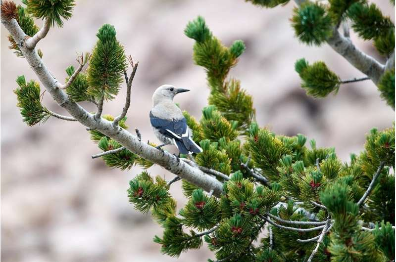 Whitebark pine declines may unravel the tree's mutualism with Clark's Nutcracker