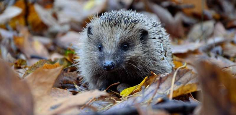 Why autumn is such a dangerous time for hedgehog mothers – and how to help them