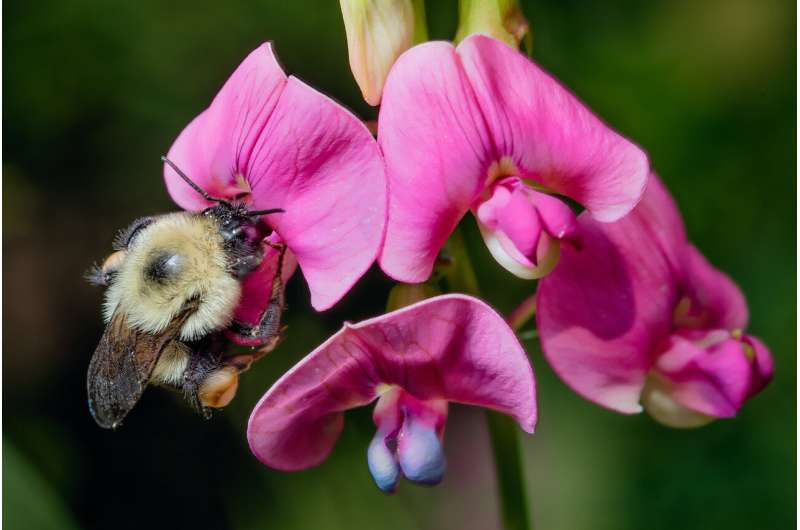 Why bumble bees are going extinct in time of 'climate chaos'