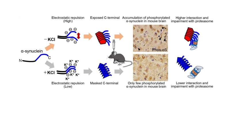 Why do structural differences in α-synuclein aggregates cause different pathologies?