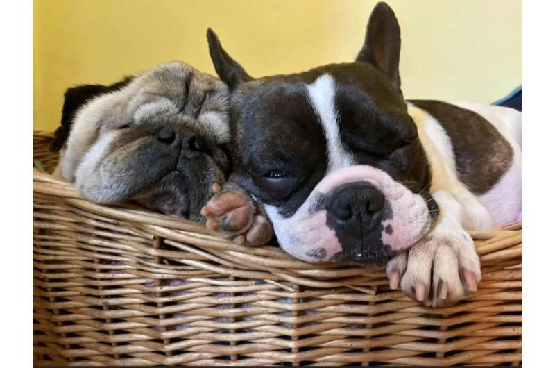 Why flat-faced dogs remain popular despite health problems