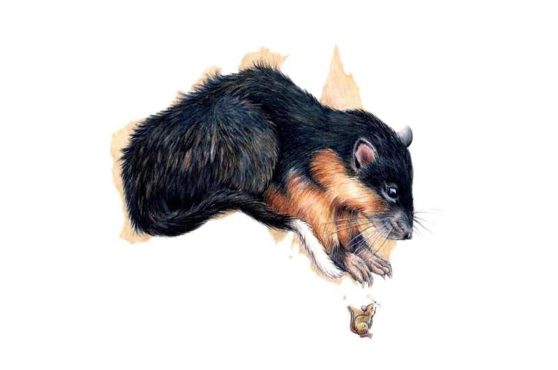 Why rats would win Australian survivor
