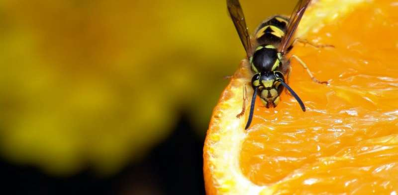Why wasps become so annoying at the end of summer